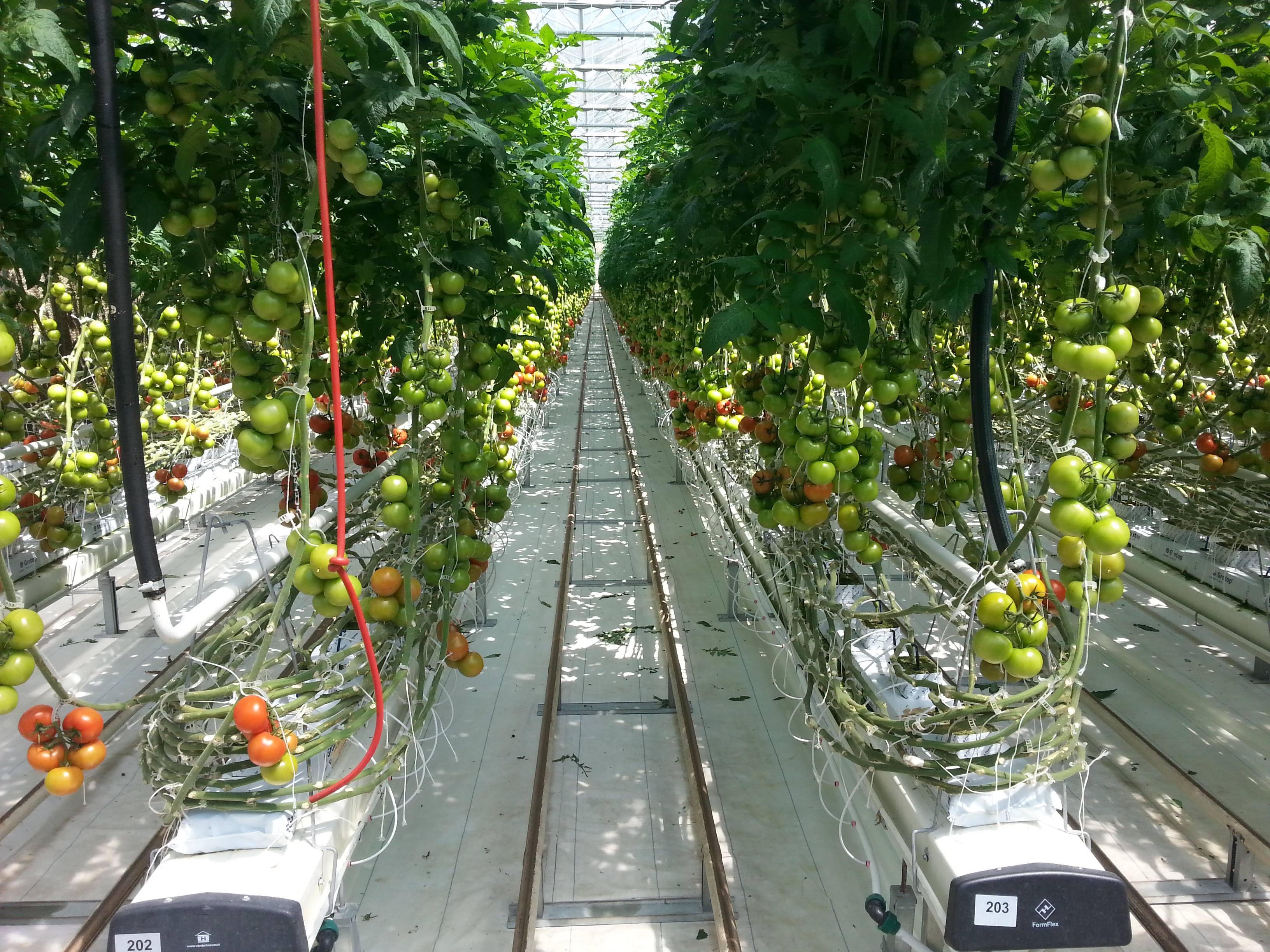 Συμβολή στην αντιμετώπιση της αβιοτικής καταπόνησης σε καλλιέργειες τομάτας στην εποχή της κλιματικής αλλαγής (Ημερίδα)